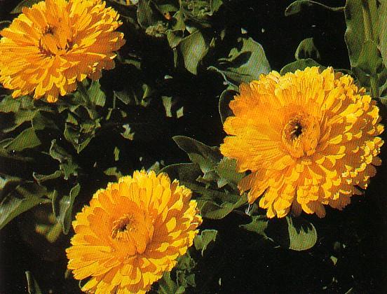 عکس گل همیشه بهار