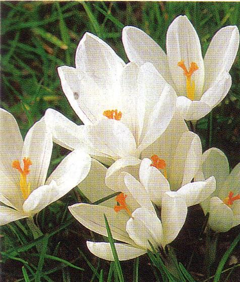 http://taftan.persiangig.com/Crocus4.jpg